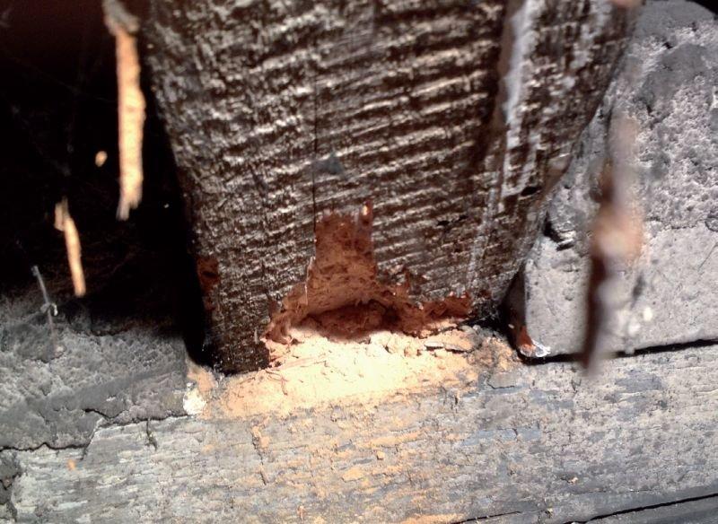 FOT. 6. Porażenie owadem w miejscu połączenia krokwi i murłaty; fot. [7]