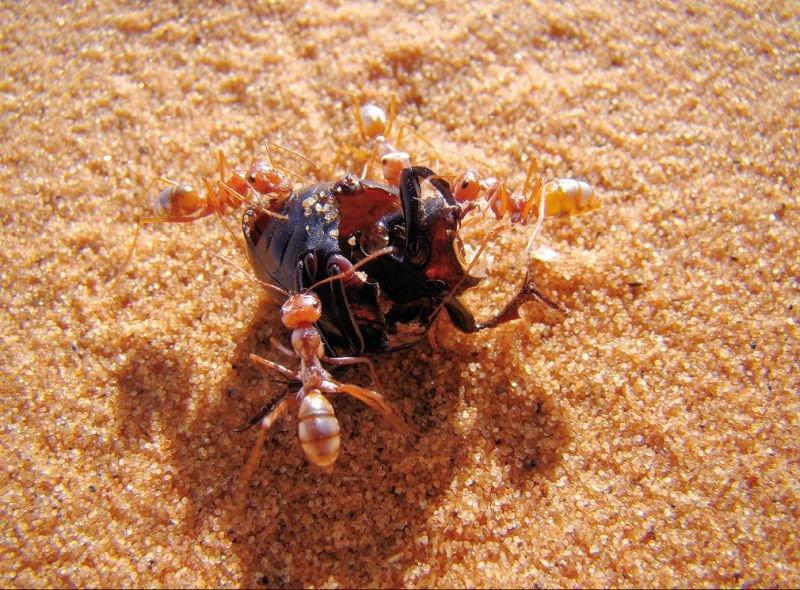 fot1 czego golenie mrowki